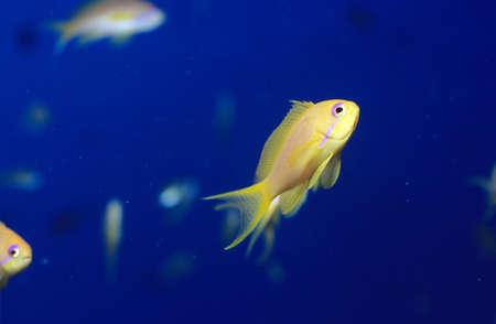 basslet: Redstripe fairy basslet, Pseudanthias fasciatus
