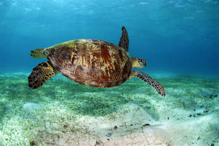 green sea: Philippines,green sea turtle LANG_EVOIMAGES