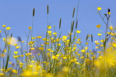 buttercup: Buttercup at summer meadow, close-up