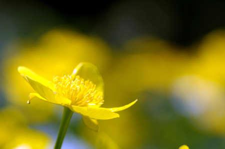 buttercup flower: Buttercup flower, close-up
