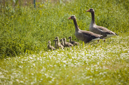 confiding: Geese in meadow