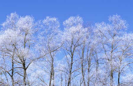 untroubled: Trees in winter