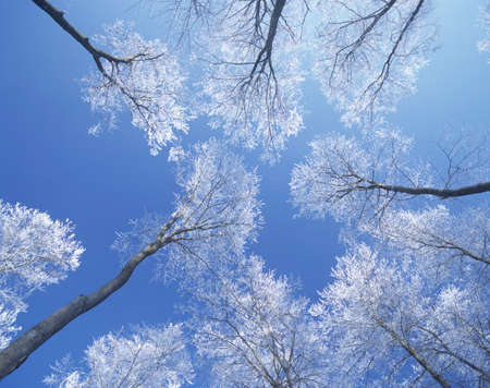 treetops: Snow covered treetops LANG_EVOIMAGES