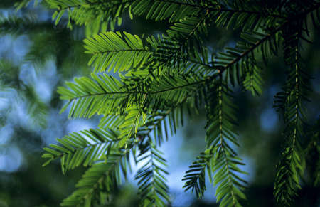 fir twig: Fir twig