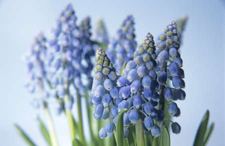 hyacinths: Grape hyacinths