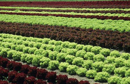juxtaposing: Lettuce field LANG_EVOIMAGES
