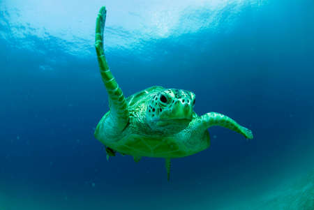 chelonia: Philippines green sea turtle Chelonia mydas swimming LANG_EVOIMAGES