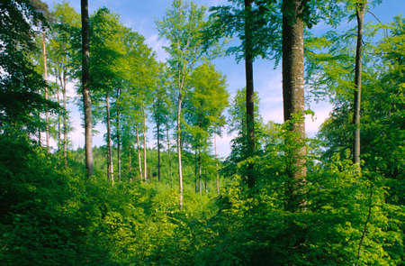 trees photography: Germany Bavaria beech forest