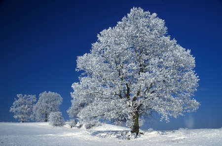 physical geography: Germany Black forest snowcovered trees