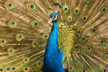pavo cristatus: Peacock Pavo cristatus displaying feathers