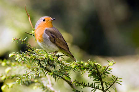 erithacus: Robin perched on branch Erithacus rubecula LANG_EVOIMAGES