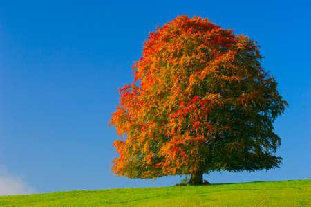 beech tree beech: Germany Bavaria Beech tree in autumn