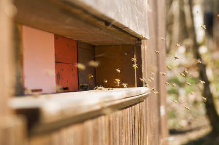 apis: Honeybee hives Apis mellifera