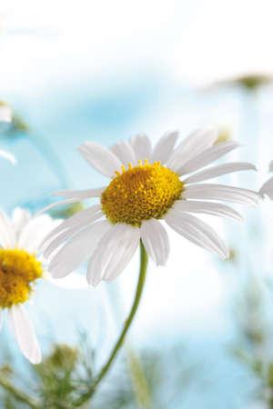 german chamomile: Camomile flowers closeup