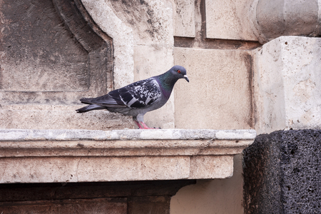 Pigeon on parapet of old building in Catania, Sicily, Italy Imagens