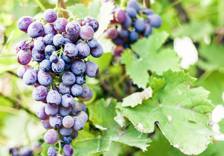 Close-up of bunches of ripe grapes on vine Banque d'images - 122785248