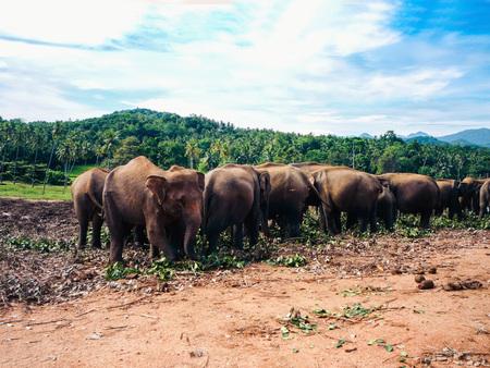 elephants in Sri Lanka, Pinnawala Elephant Orphanage
