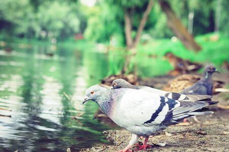 Flock of pigeons on a lake in a park
