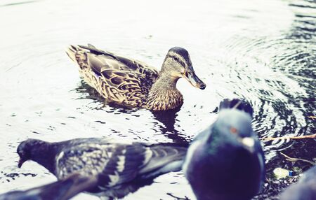 ducks and pigeons on a lake in a park Archivio Fotografico