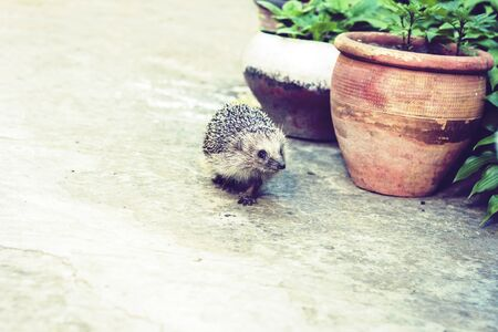 European hedgehog (Erinaceus europaeus) walking on the sidewalk in the yard near a clay pot with garden plants