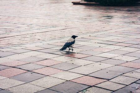 Schwarze Krähe auf dem Bürgersteig im Park an einem Herbsttag