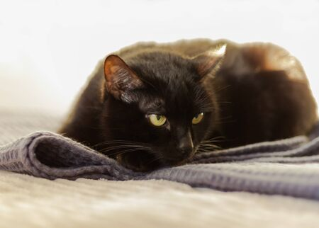 black cat with short hair and yellow eyes lies on a gray plaid on the bed opposite a white wall.  Animal pet in our home