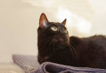 black cat with short hair and yellow eyes lies on a gray plaid on the bed opposite a white wall and look up.  Animal pet in our home