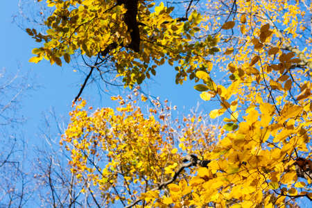 Dry yellow leaves on a branch against the blue sky background in autumn fall on a sunny day 免版税图像