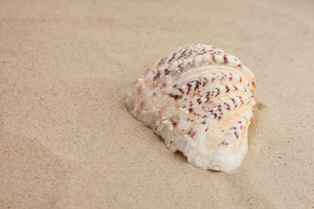 Seashell sea shell on the sand, summer beach background travel concept with copy space for text Imagens