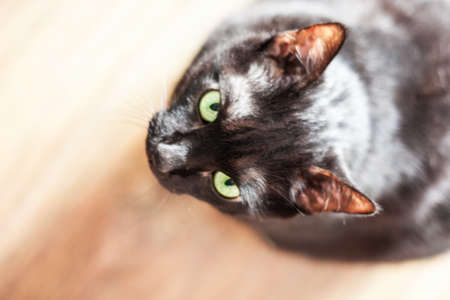 black cat on a wooden floor background, selective focus, pet animal concept 版權商用圖片