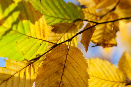 Dry yellow leaves on a branch against the blue sky background in autumn fall on a sunny day Banque d'images