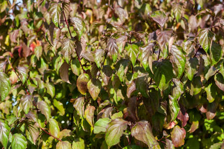 leaves on bush close by in autumn fall day, green background soft focus Standard-Bild