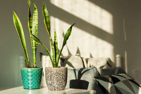 Cozy home interior decor, Sansevieria (snake plant) in ceramic pots on a white table on the background of a bed with decorative pillows, modern design on a sunny day Standard-Bild