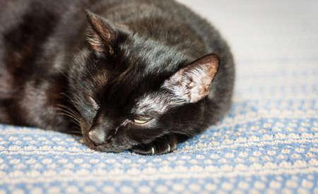 black cat lies on a blue blanket, close-up, selective focus