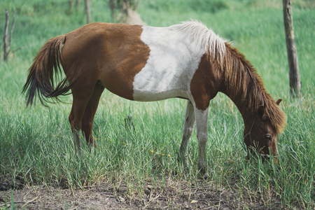 Brown Horse Pony eating grass in the farm. 写真素材