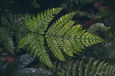 Natural green fern in the rain forest.