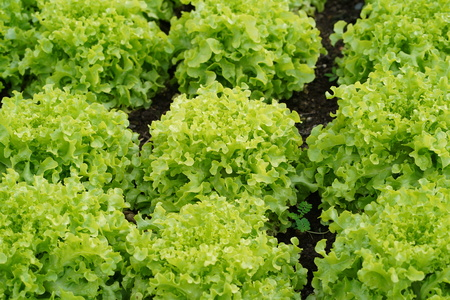 Lettuce farm. Green lettuce plants in growth at field. Zdjęcie Seryjne