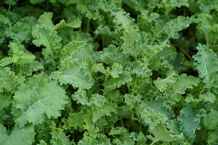 Green curly kale plant in a vegetable garden. Zdjęcie Seryjne - 122181514