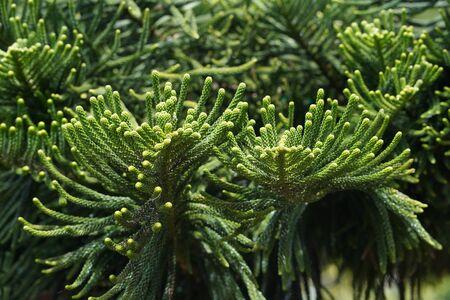Araucaria Heterophylla - Norfolk Island Pine Close up. Zdjęcie Seryjne