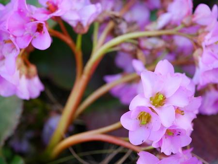 himalayan: Himalayan saxifrage Stock Photo
