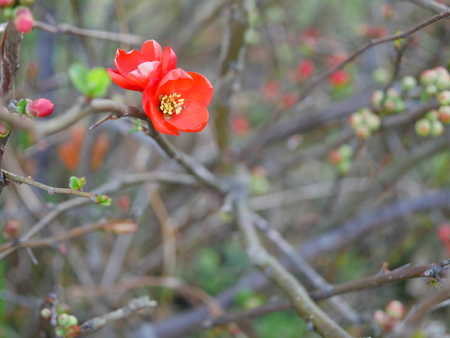 membrillo: Red quince flower
