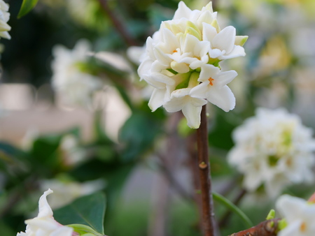 dafne: White Flower daphne