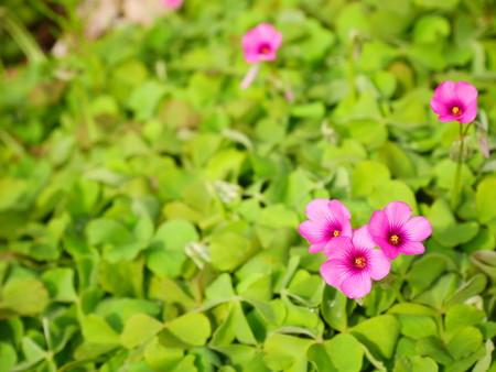 oxalidaceae: purple oxalis