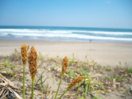 carex: Carex kobomugi of male
