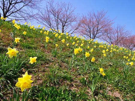 gregarious: Narcissus clumps of daffodils