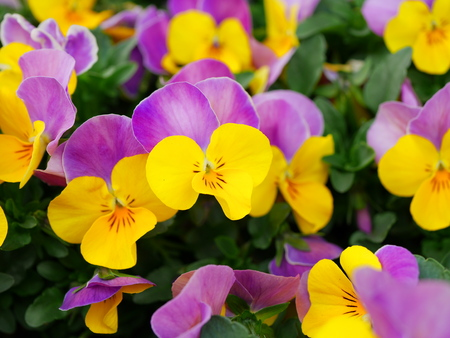 pansy: pansy Stock Photo