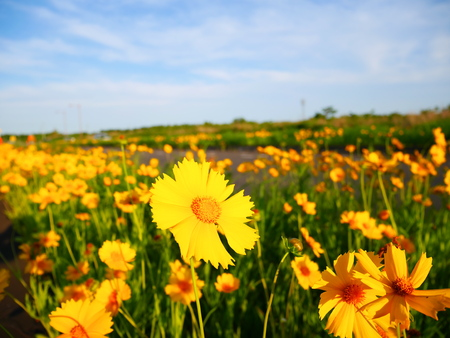 naturalized: Coreopsis lanceolata