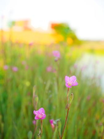 rosea: Oenothera rosea