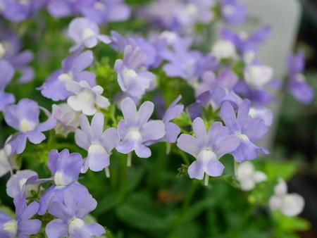 snapdragon: Perennial snapdragon Earl Grey