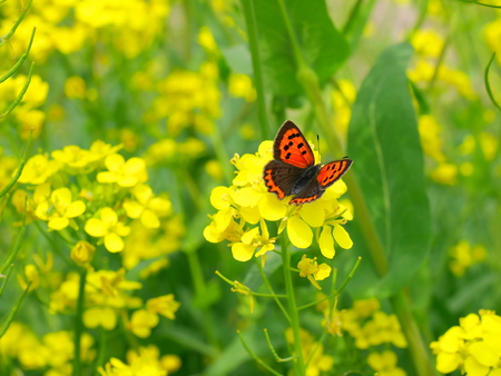 lepidoptera: Rape flowers and a Lycaena phlaeas